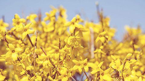 Forsythien für den Frühling pflanzen und nach der Blüte schneiden.  - Foto: Artush/ iStock