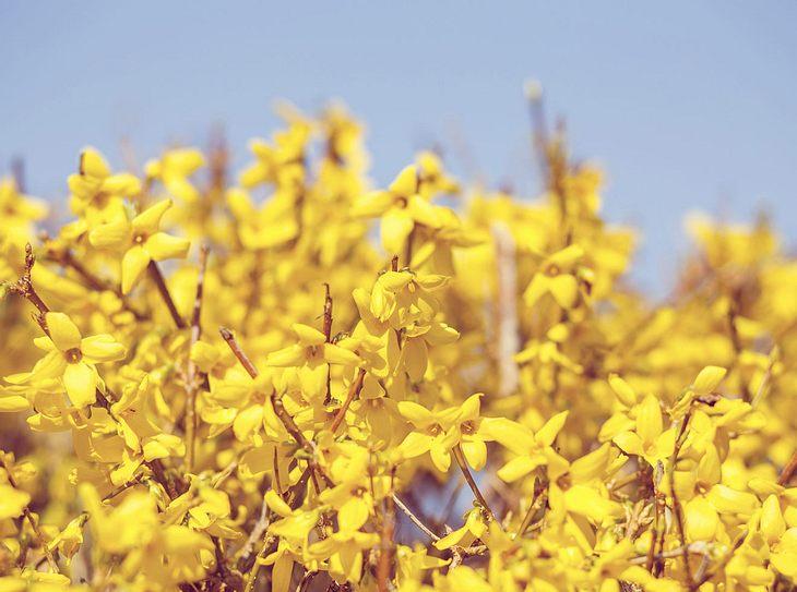 Forsythien für den Frühling pflanzen und nach der Blüte schneiden.