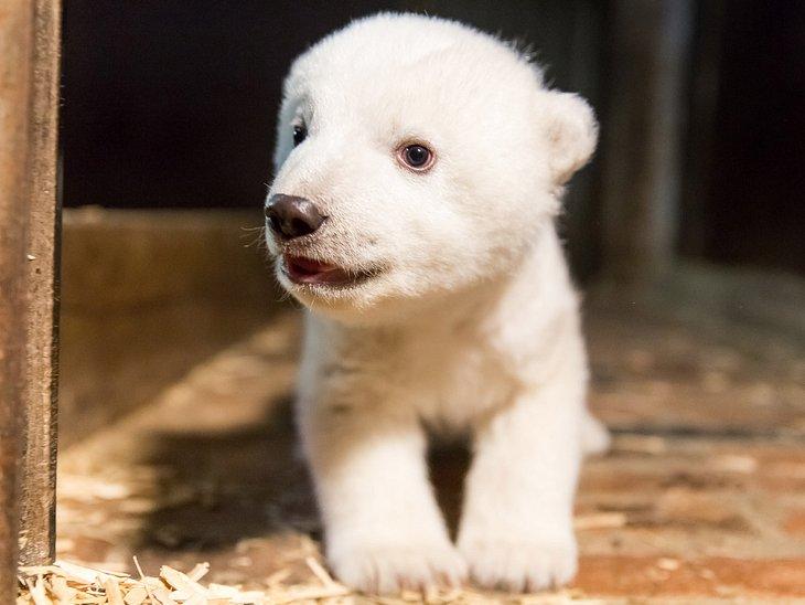 Große Sorge um Eisbärenbaby Fritz