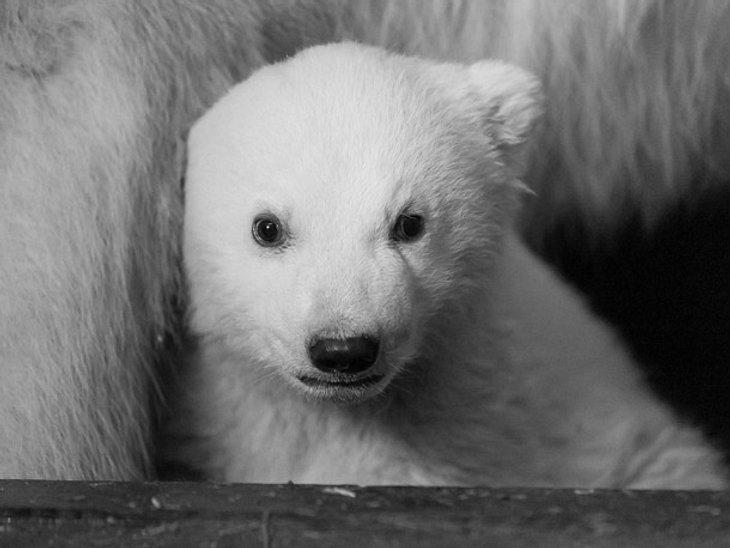 Eisbärbaby Fritz ist leider verstorben.