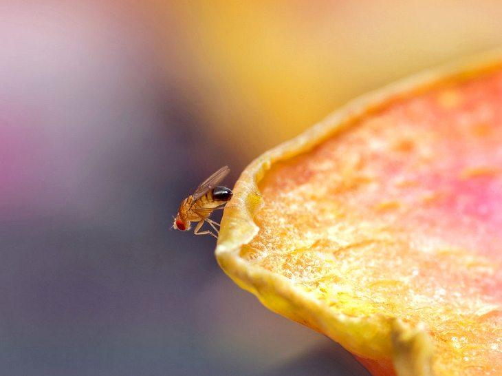 Woher kommen Fruchtfliegen eigentlich?