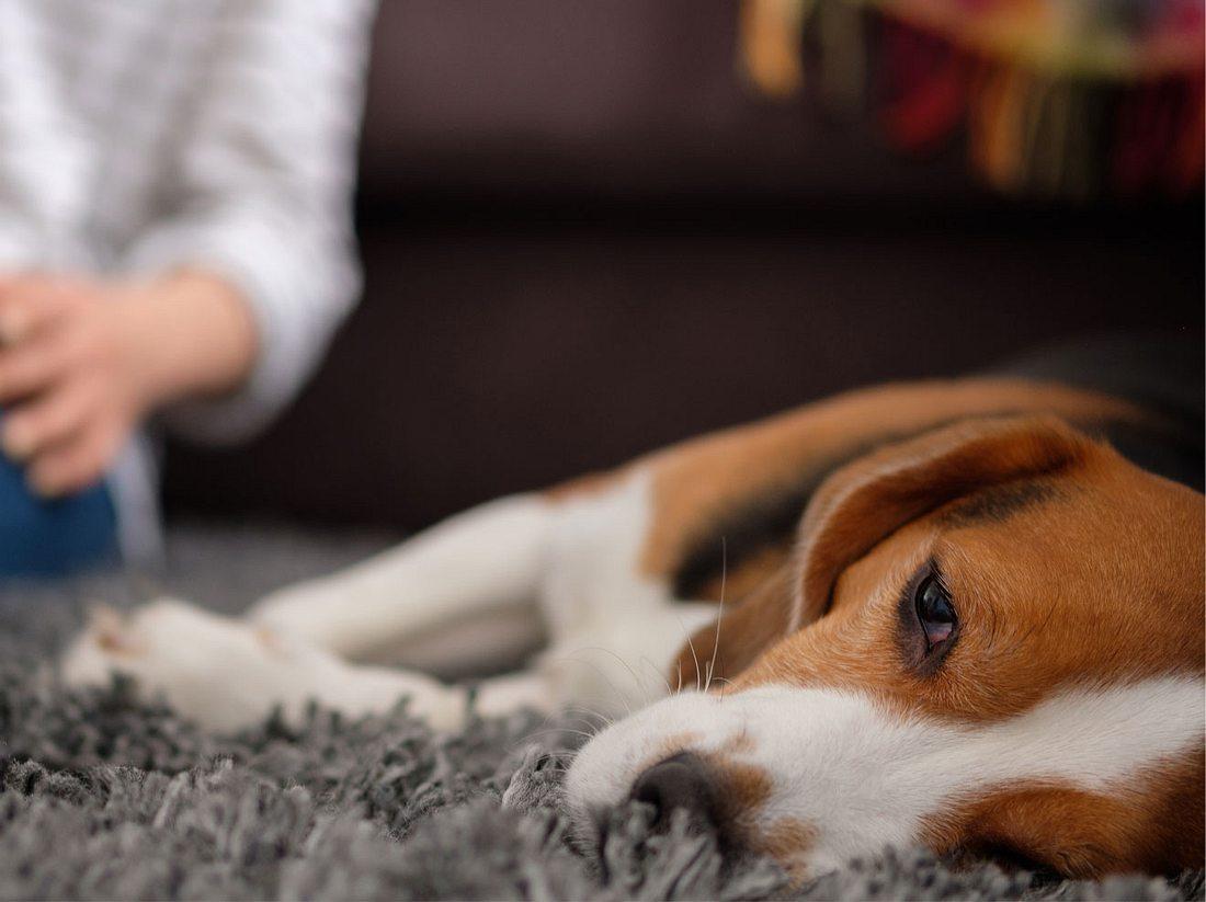 Die gefährliche Hundekrankheit ist bislang noch wenig erforscht.