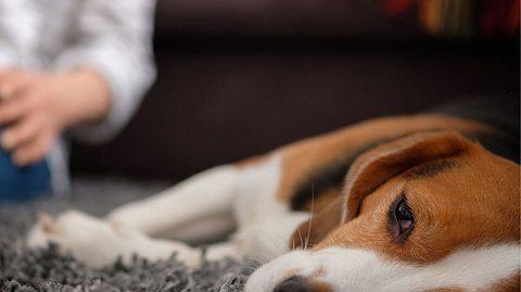 Die gefährliche Hundekrankheit ist bislang noch wenig erforscht. - Foto: Alexander Medvedev / iStock