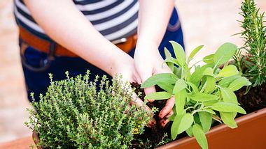 Neben Thymian und Salbei zählt auch Rosmarin zu den Heilpflanzen, die Sie leicht selbst anbauen können. - Foto: martiapunts / iStock