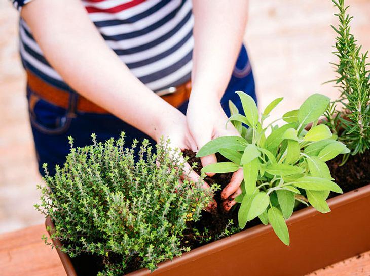 Neben Thymian und Salbei zählt auch Rosmarin zu den Heilpflanzen, die Sie leicht selbst anbauen können.