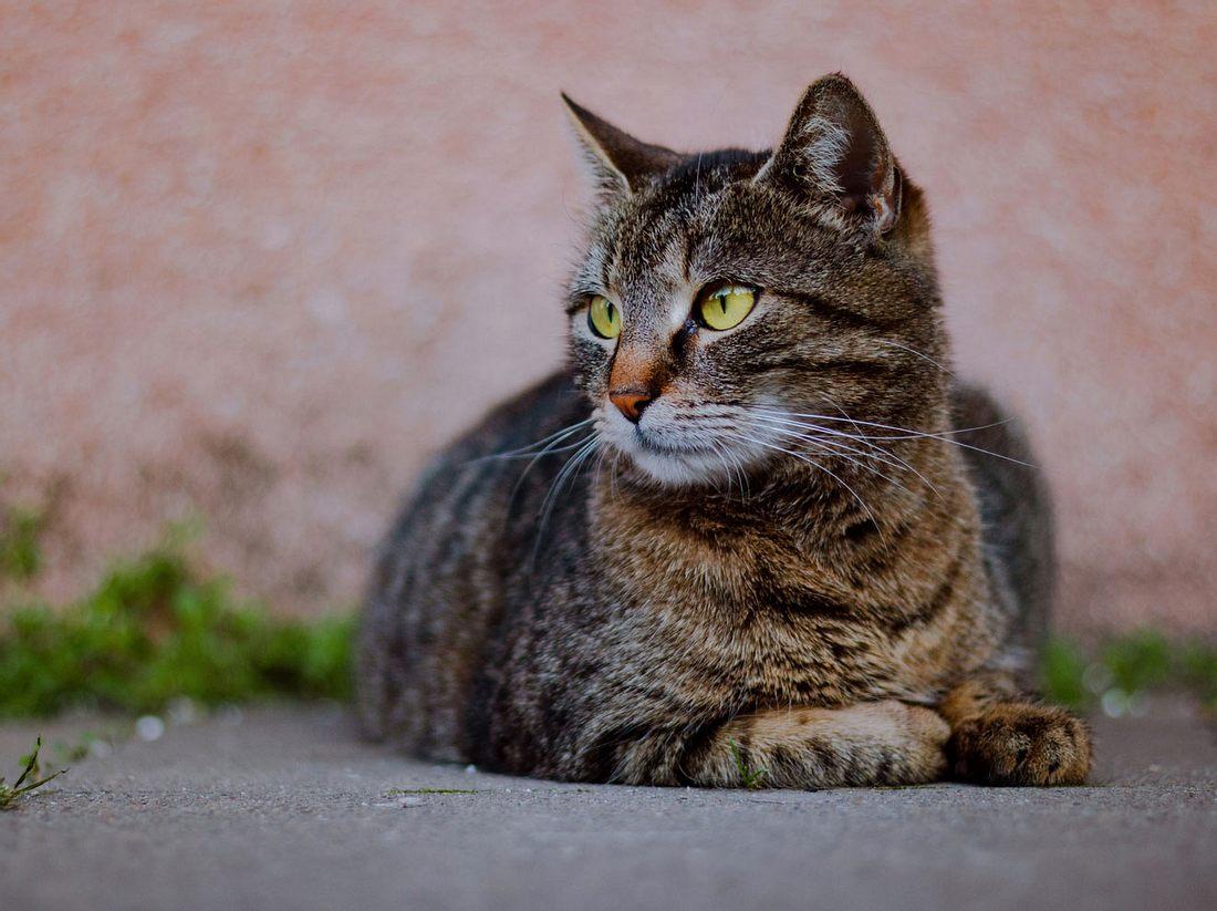 Getigerte Katzen gelten als Einzelgänger.