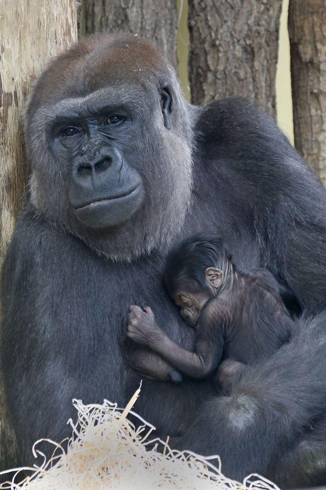 Gorilla-Baby im Zoo Berlin