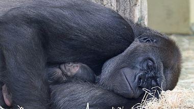 Nachwuchs bei den Gorillas im Zoo Berlin - Foto: © 2021 Zoo Berlin
