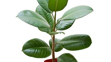So pflegen Sie Ihren Ficus richtig