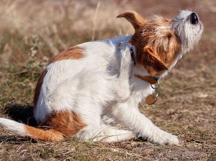 Haarlinge verursachen einen starken Juckreiz bei Ihrem Hund.