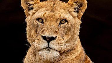 Löwin Carbora ist im Tierpark Hagenbeck plötzlich verstorben. - Foto: Hagenbecks Tierpark