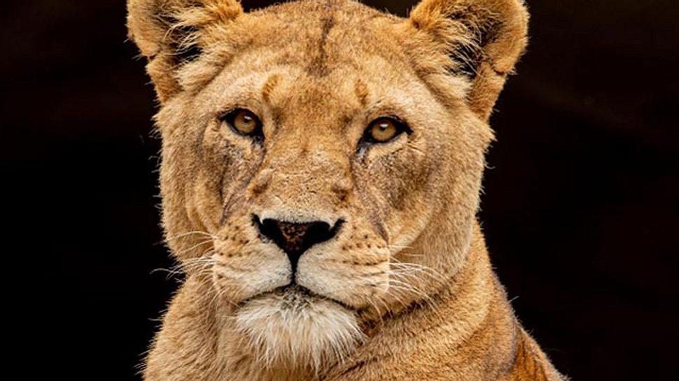 Trauer um Löwin Carbora