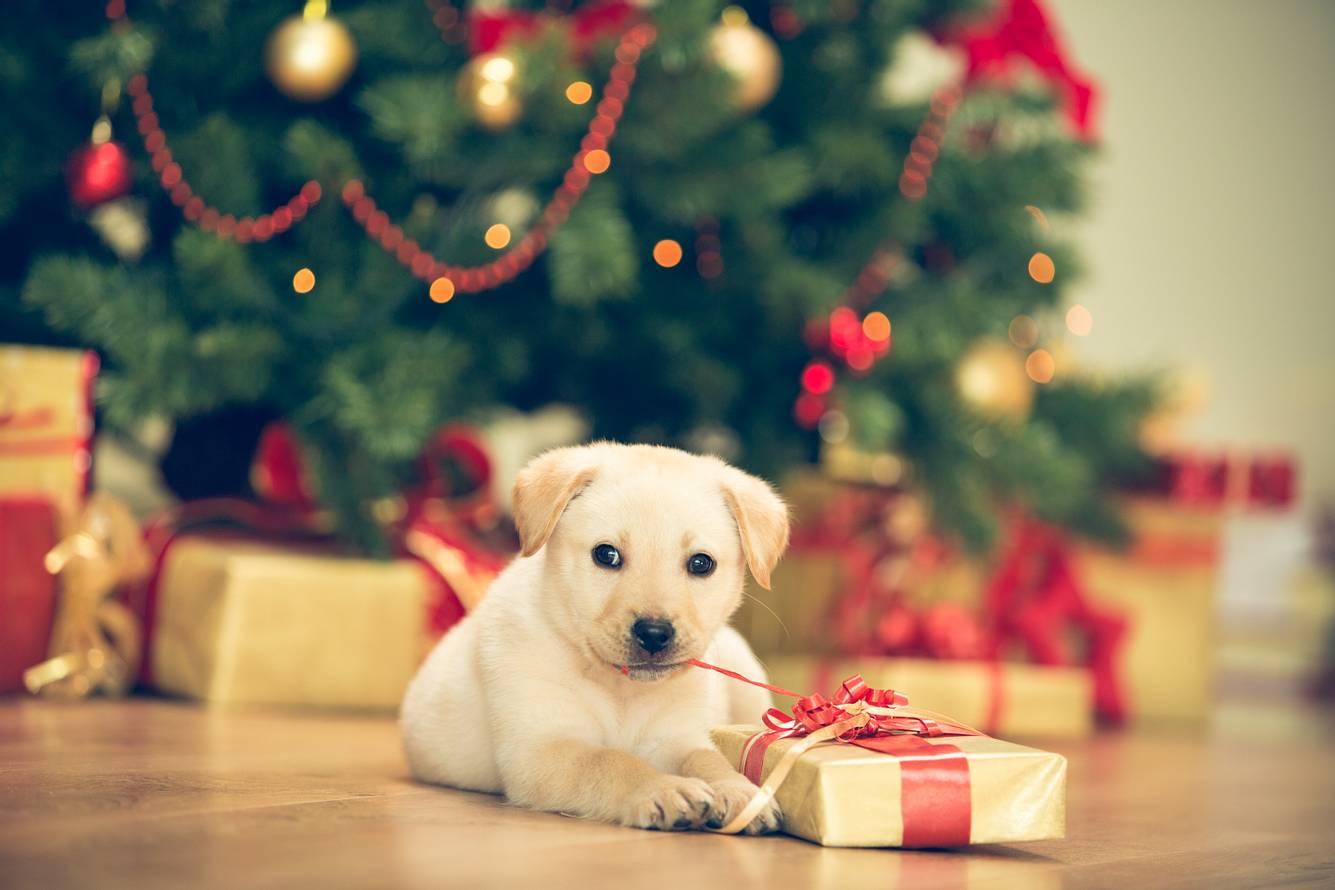 Ein Welpe sitzt neben einem Geschenk vor einem Weihnachtsbaum.