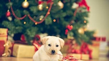 Ein Welpe sitzt neben einem Geschenk vor einem Weihnachtsbaum.  - Foto: fotostorm / iStock