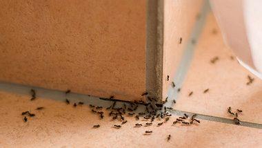 Hausmittel gegen Ameisen, die sie schnell vertreiben