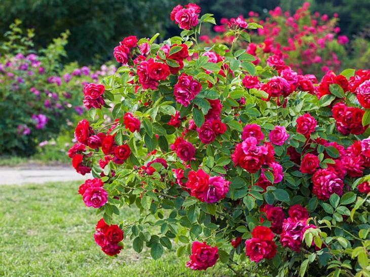 Die Heilkraft der Rosen