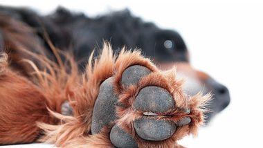 Das hilft rissigen Hundepfoten