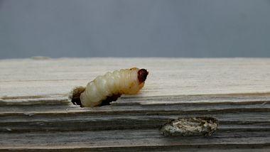 Holzwurm nagt sich in ein Stück Holz. - Foto: HorstBingemer / iStock