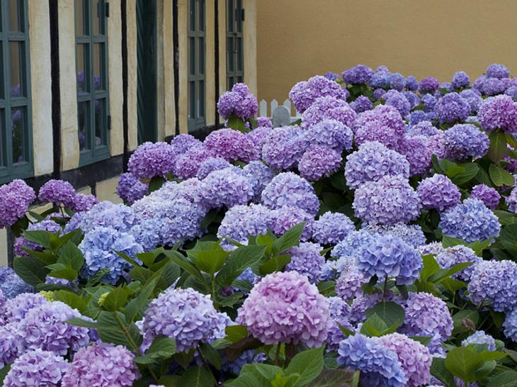Alles Was Sie über Die Pflege Wissen Müssen Hortensien Pflege Lernen Sie Wie Sie Ihre Zimmerpflanzen Pfoegen