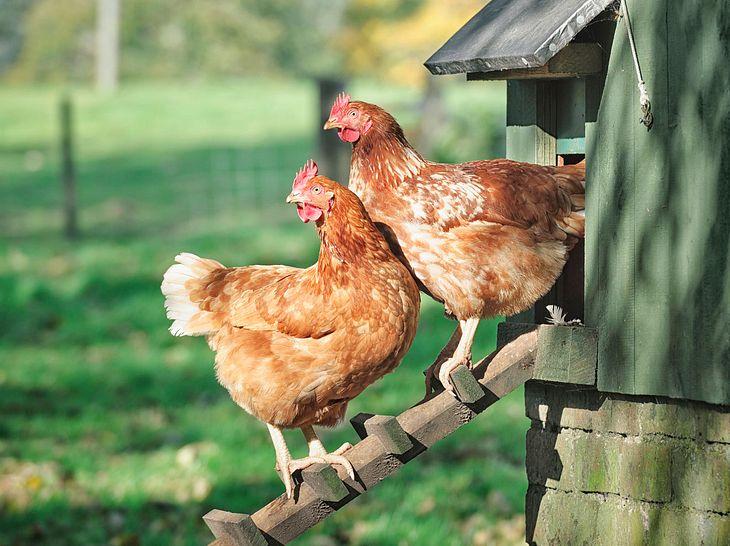 Bei der Hühnerhaltung im Garten gibt es einiges zu beachten.