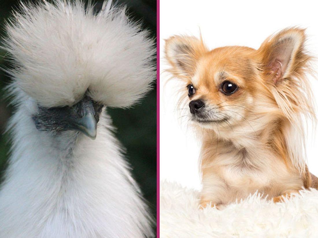 Ein ungewöhnliches Paar: Flauschiges Huhn liebt zweibeinigen Hund