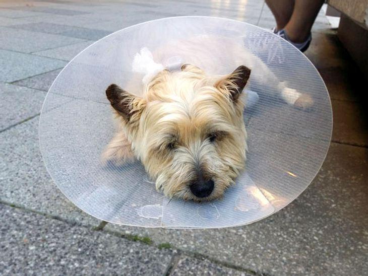 Hund trägt Halskrause