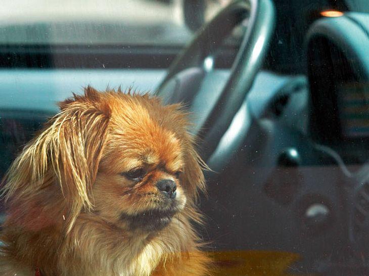 Todesfalle Auto: Wie Sie einen Hund vor dem Hitzetod retten