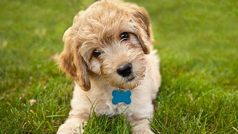 Welche Hunde eignen sich für Allergiker? - Foto: Sdominick / iStock