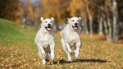 Haustiere klonen