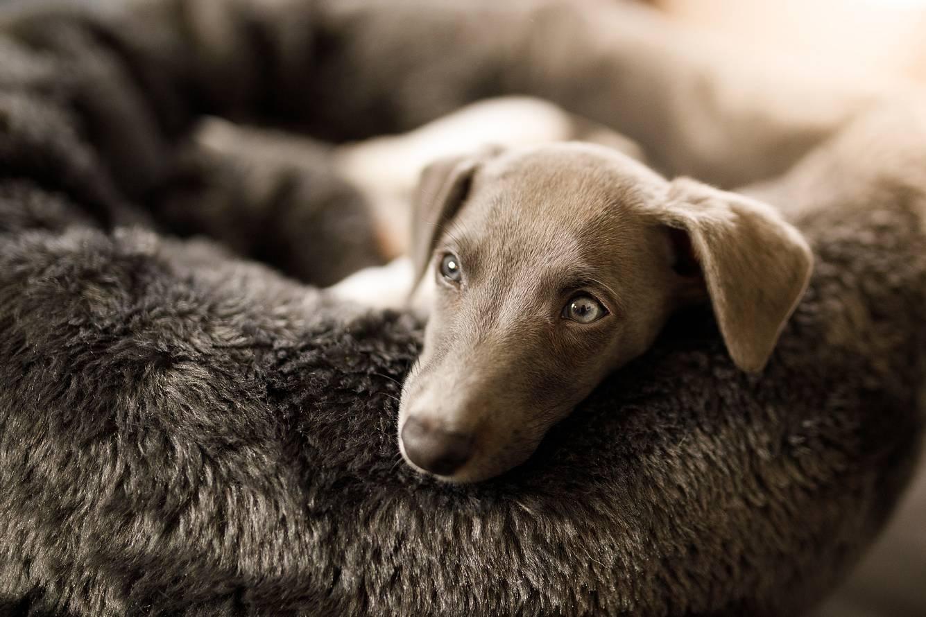 Ein Whippet Welpe im Hundebett
