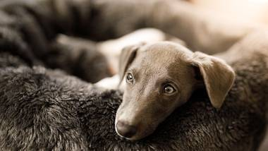 Ein Whippet Welpe im Hundebett - Foto: iStock/Capuski