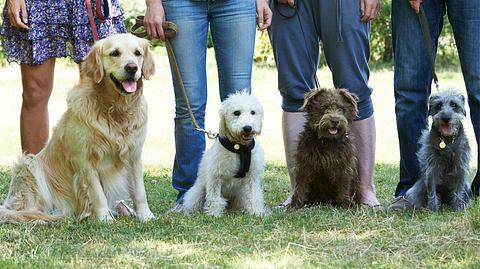 Fragen und Antworten zu Hundeführerschein und Sachkundenachweis für Hundehalter - Foto: Highwaystarz-Photography / iStock
