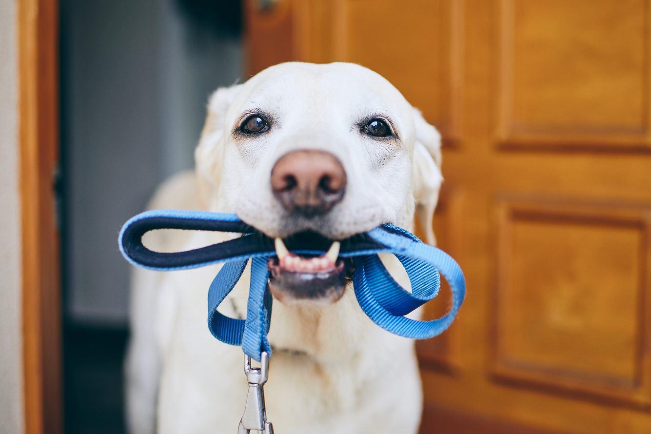 Labrador mit Hundeleine im Maul