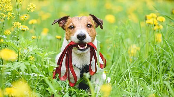 Hund mit verlängerbarer Hundeleine - Foto: iStock/alexei_tm