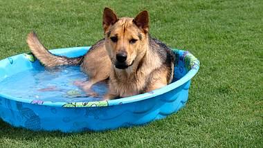 Ein Hund im Hundepool im Garten - Foto: iStock/Candyspics