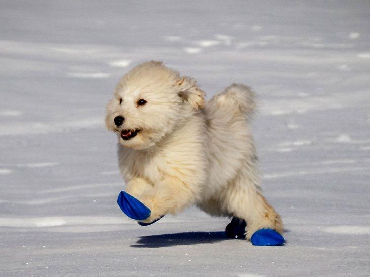 Hundeschuhe können empfindliche Pfoten im Winter schützen.