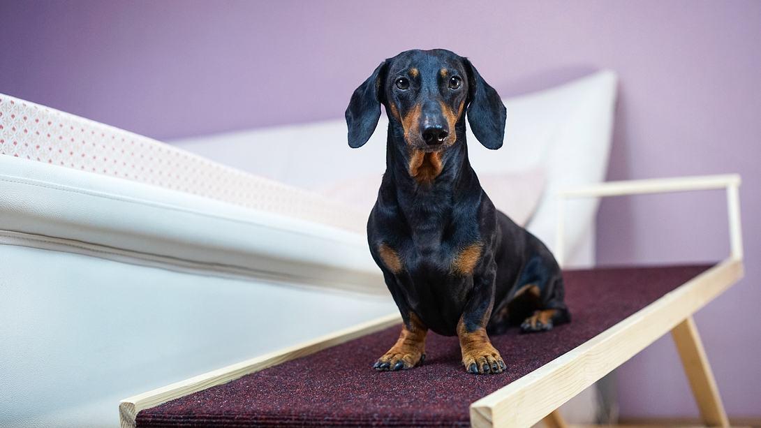 Ein Dackel auf einer Hunderampe - Foto: iStock/Ирина Мещерякова