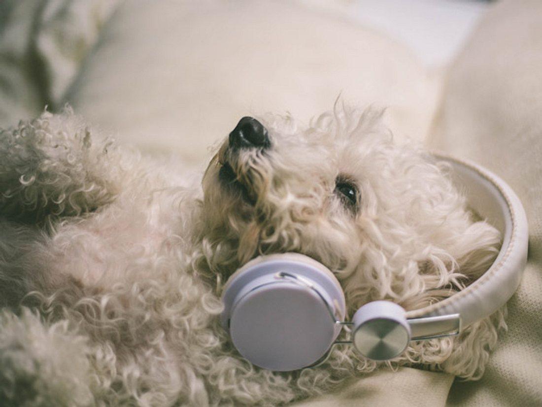 Hunde haben unterschiedliche Musik-Geschmäcker.