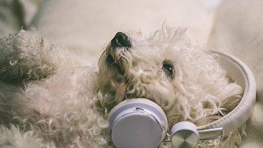 Hunde haben unterschiedliche Musik-Geschmäcker.  - Foto: MajaMitrovic / iStock