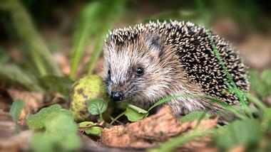 Wann braucht ein Igel im Garten Hilfe beim Überwintern? - Foto: iStock