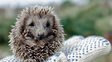 Kleine Igel leiden unter Futtermangel.  - Foto: Samoilov / iStock