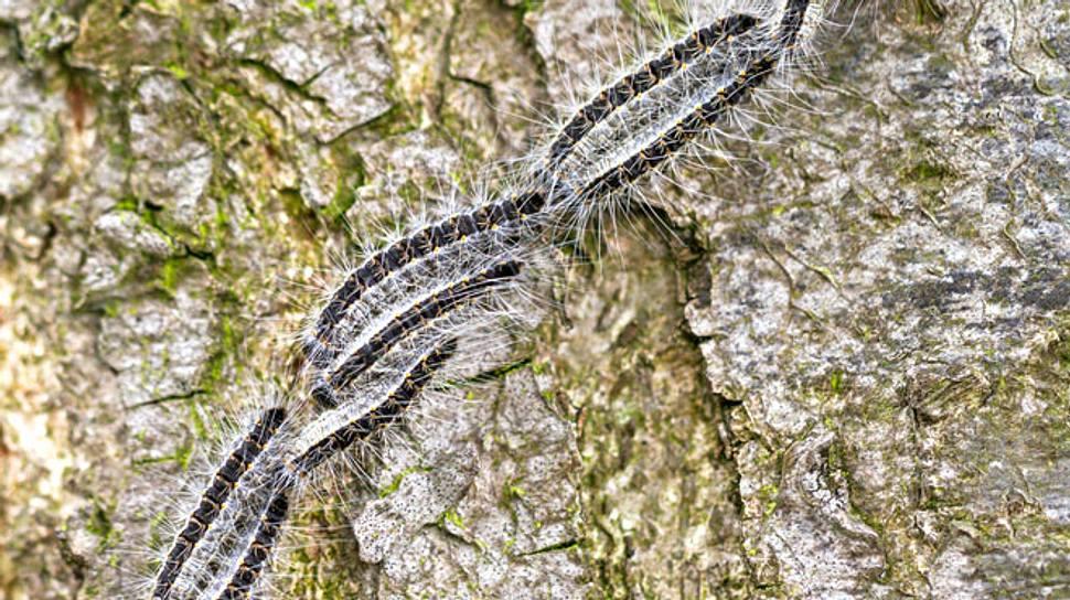 Die Raupen des Eichenprozessionsspinners können für Mensch und Tier gefährlich werden. - Foto: dennisvdw / iStock