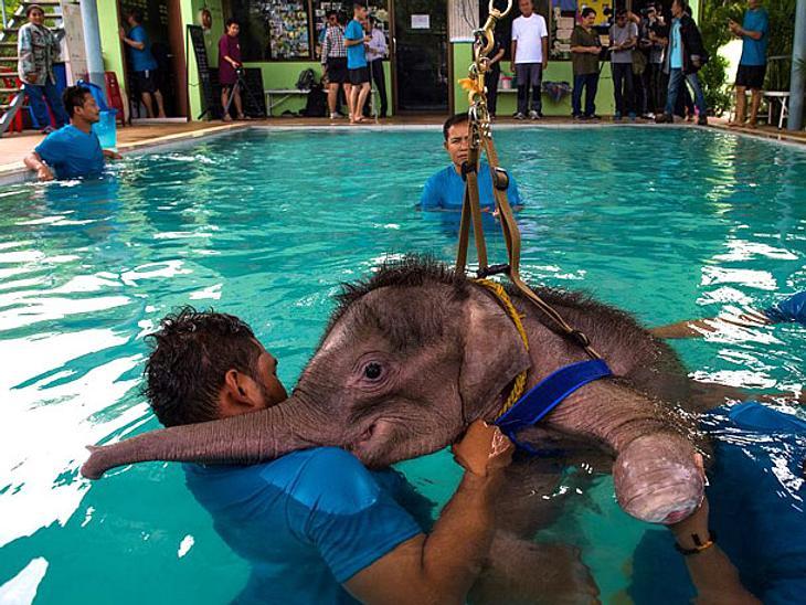 Der verletzte Elefant Fah Jam lernt durch Hydrotherapie wieder zu laufen.