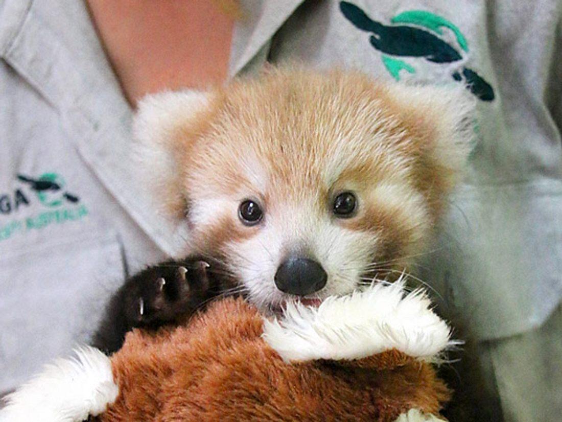 Ein verletzter Kleiner Panda, auch Roter Panda genannt, wird im australischen Taronga Zoo liebevoll von einer Ersatzmutter aufgepäppelt.