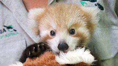 Ein verletzter Kleiner Panda, auch Roter Panda genannt, wird im australischen Taronga Zoo liebevoll von einer Ersatzmutter aufgepäppelt. - Foto: Facebook / Taronga Zoo