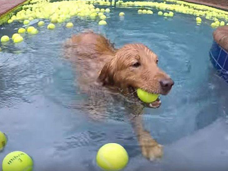 Zwei Rettungshunde ehren einen bereits verstorbenen Vierbeiner, indem sie in einem Meer aus 4.000 Tennisbällen schwimmen.