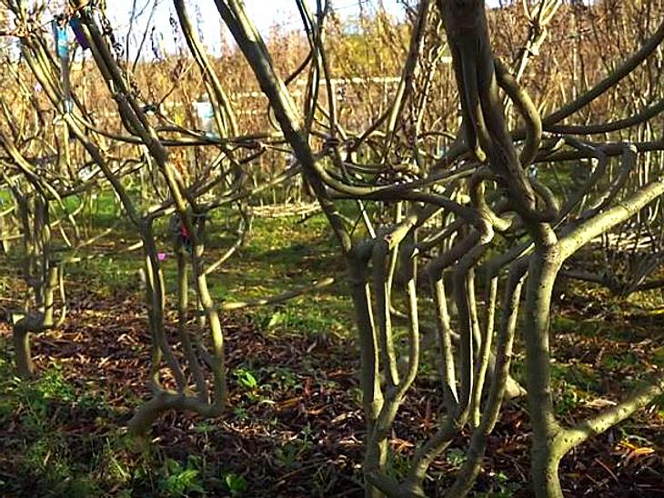 Die Möbel der Firma Full Grown wachsen auf dem Feld und formen sich durch das Wachsen der dort gepflanzten Bäumen selbst.