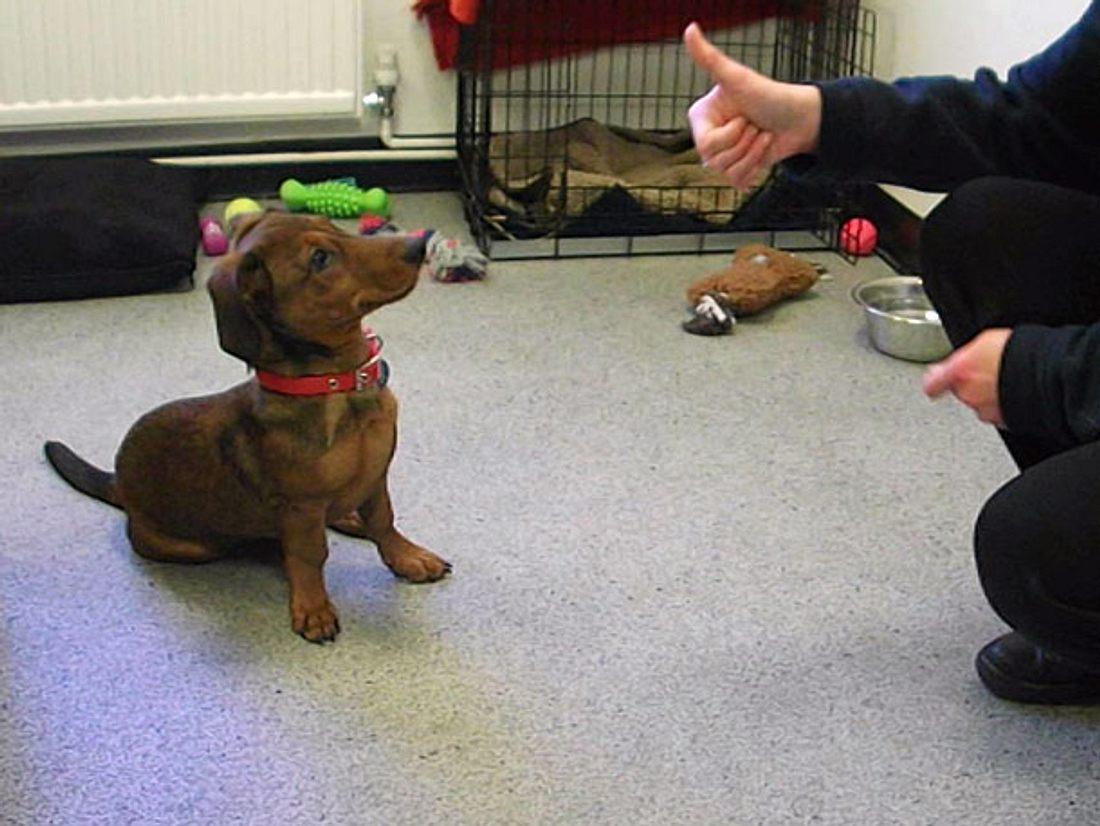 Im Tierheim brachte man Dackel Bob mit Zeichensprache einige Tricks bei.