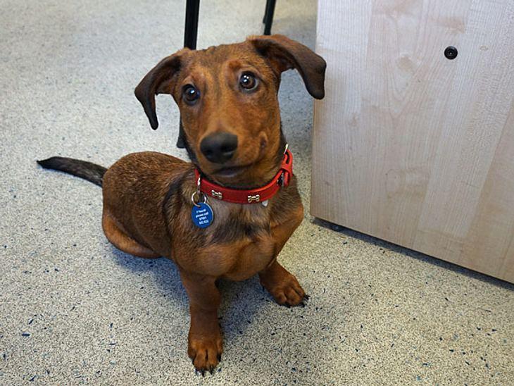Der elf Monate alte Dackel Bob ist taub und lernte in einem Londoner Tierheim auf Zeichensprache zu reagieren.