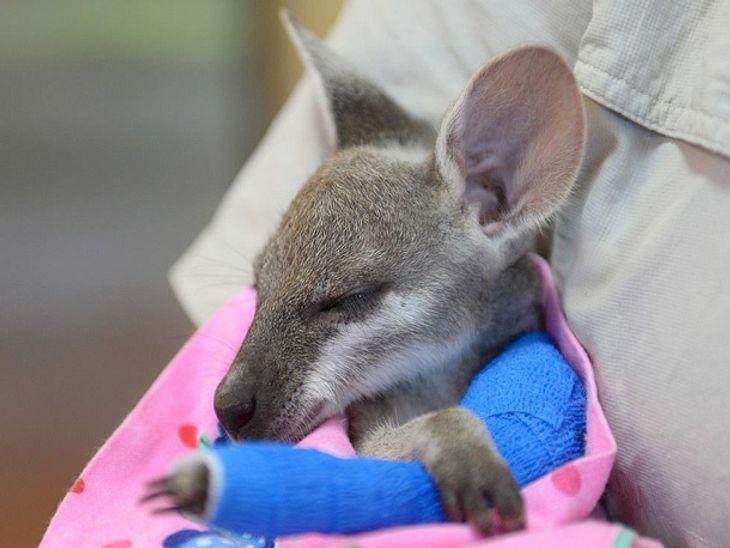 Im Australia Zoo kümmern sich Tierpfleger um ein verwaistes Känguru-Baby, das sich den Arm gebrochen hat.